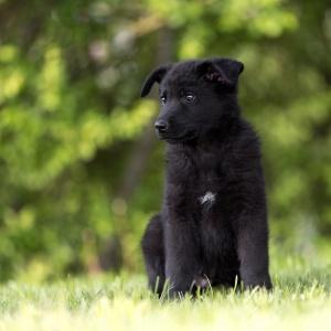 Schwarzer Schäferhundwelpe im Gras