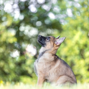 Portrait eines 8 Wochen alten Schäferhundwelpens