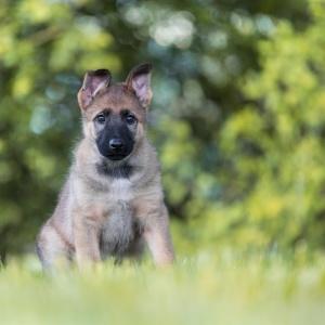 Hundefotografie in der Schweiz: Fotoshooting mit Schäfehundwelpen