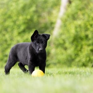 Hundefotografie Schweiz: Welpenfotoshooting mit 6 kleinen Schäferhundwelpen