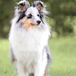 Hundefotografie in der Schweiz: red merle Sheltie
