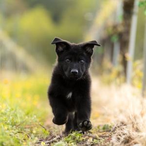 Schwarzer Schäferhundwelpe rennt in den Weinreben
