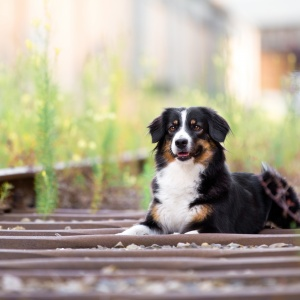 Hundefotografie in Basel: Mitten in einem Industriegebiet wurde Mini-Aussie Betty fotografiert