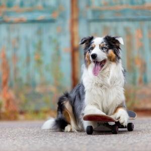 Tierfotografie mitten in Basel: Australian Shepherd Danger auf einem Skateboard