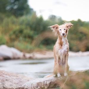 Tierfotografie rund um Basel: Windhundmix Faye bei regnerischem Wetter am Fluss nahe Basel