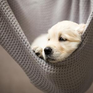Hundefotografie rund um Basel: Welpenfotoshooting mit einem 6 Wochen alten Golden Retriever Welpen