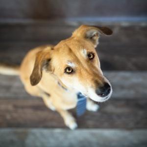 Hundefotografie Schweiz: Windhundmix mit Schlips fotografiert