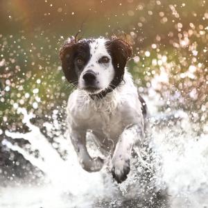 Hundefotografie: Fotoshooting mit Working Cocker Spaniel im Wasser