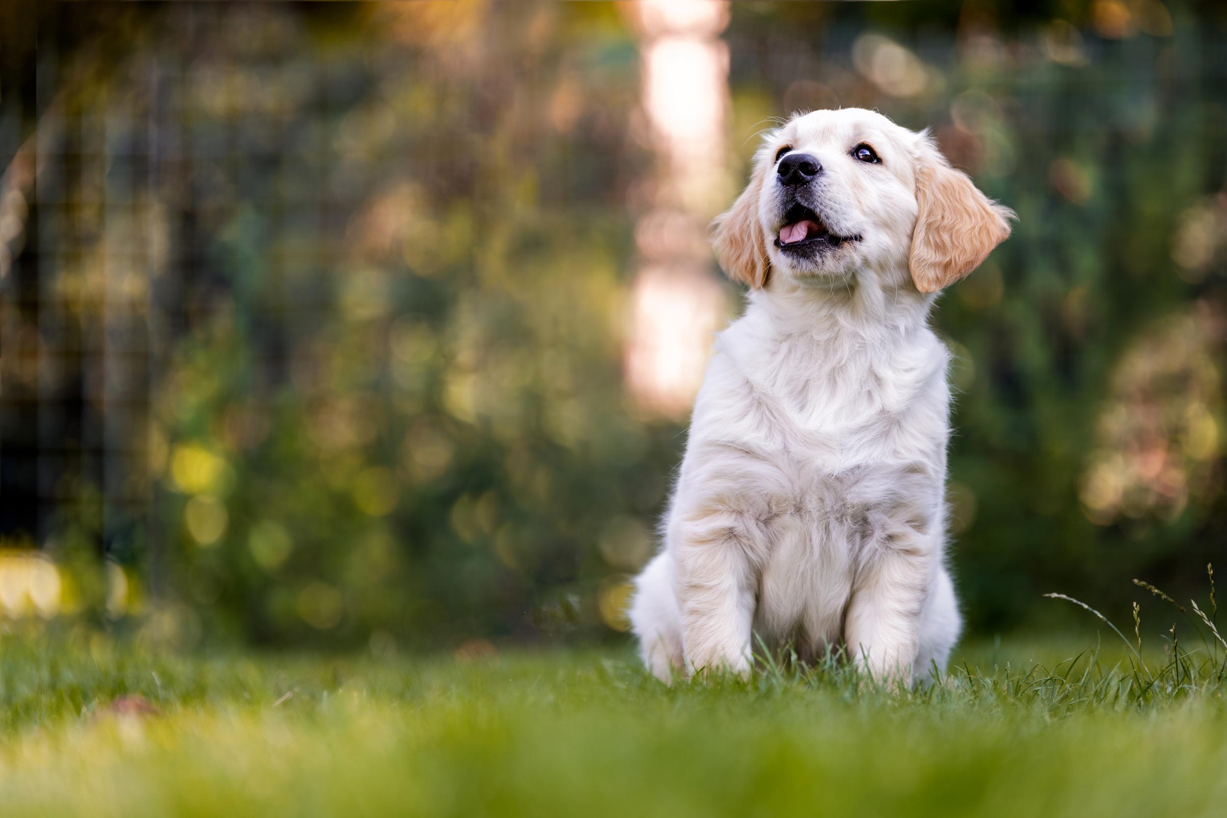 Hundefotografie rund um Basel: Golden Retriever Welpe im Gras sitzend