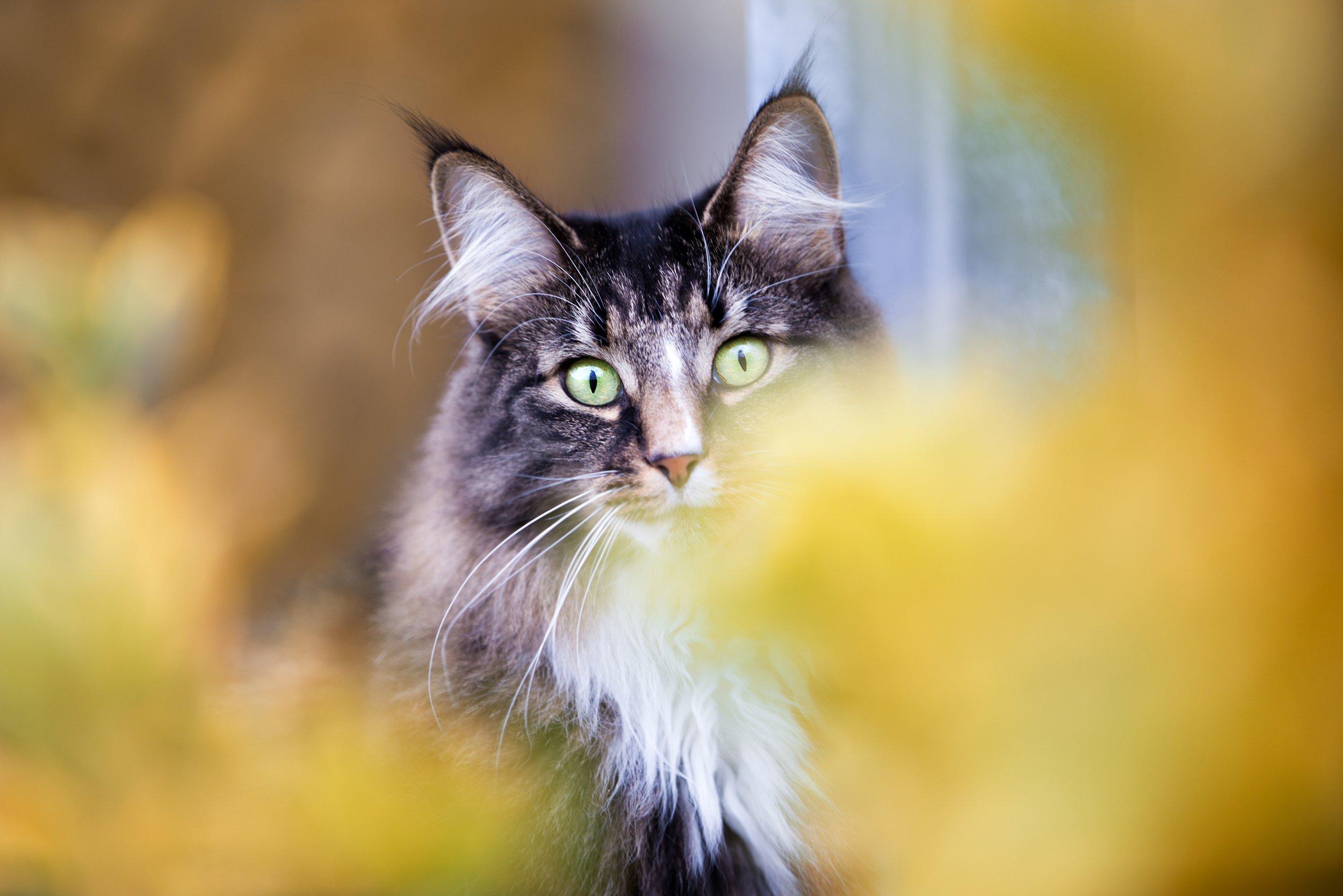 Tierfotografie rund um Basel: Norwegische Waldkatze im Portrait