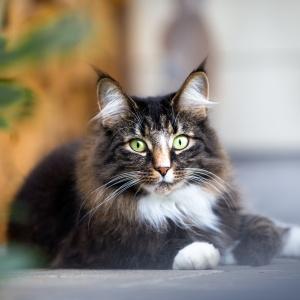 Tierfotografie rund um Basel: Norwegische Waldkatze liegend im Freien