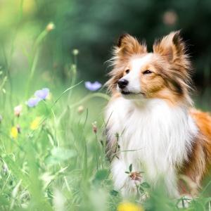 Hundefotografie Schweiz: Sheltie Sally schnuppert im Gras an Blumen