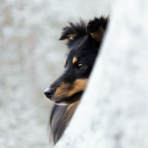 Tierfotografie Schweiz: Portrait Sheltie Sunny