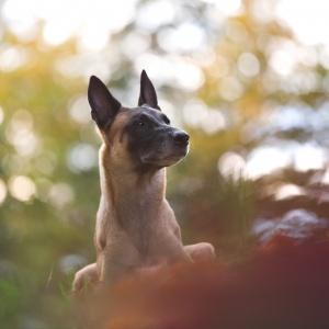Hundefotografie Schweiz: buntes Herbstfotoshooting mit Malinois Rüde Axe