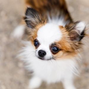 Chihuahua Bambi schaut nach oben