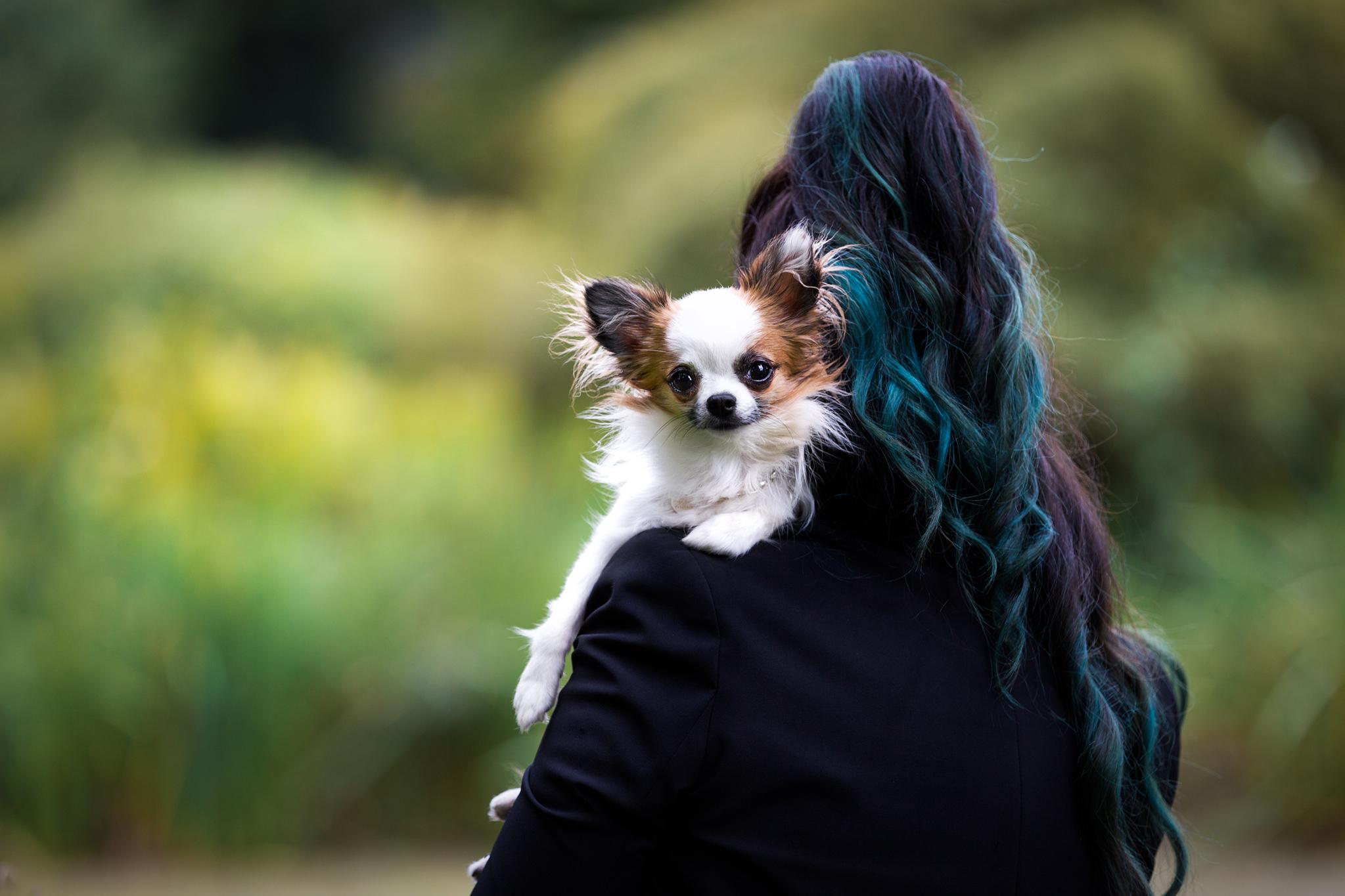 Die kleine Chihuahua Hündin Bambi schaut von der Schulter