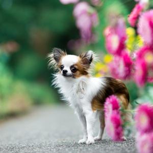 Hundefotoshooting im Wenkenpark mit Chihuahua Hündin Bambi