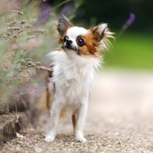 Hundefotografie rund um Basel: Bambi entdeckt den Lavendel
