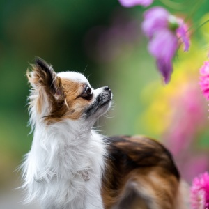 Hundefotografie Schweiz: Bambi schaut nach Blumen