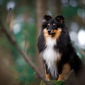 Tierfotografie Schweiz: Sheltie Sunny im Wald auf einem Baumstamm fotografiert