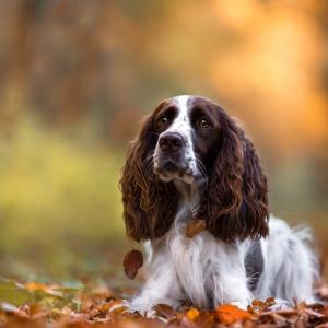 Tierfotografie rund um Basel: Spaniel Alice im Herbstlaub im Wald