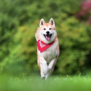 Tierfotografie Lörrach: Akitahündin rennt in voller Action über eine Wiese