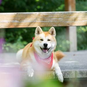 Hundefotografie Schweiz: Akitahündin auf einer Brücke
