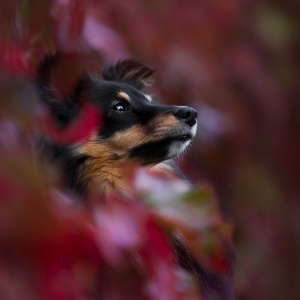 Hundefotografie rund um Basel: Sheltie Sunny im roten Wein versteckt