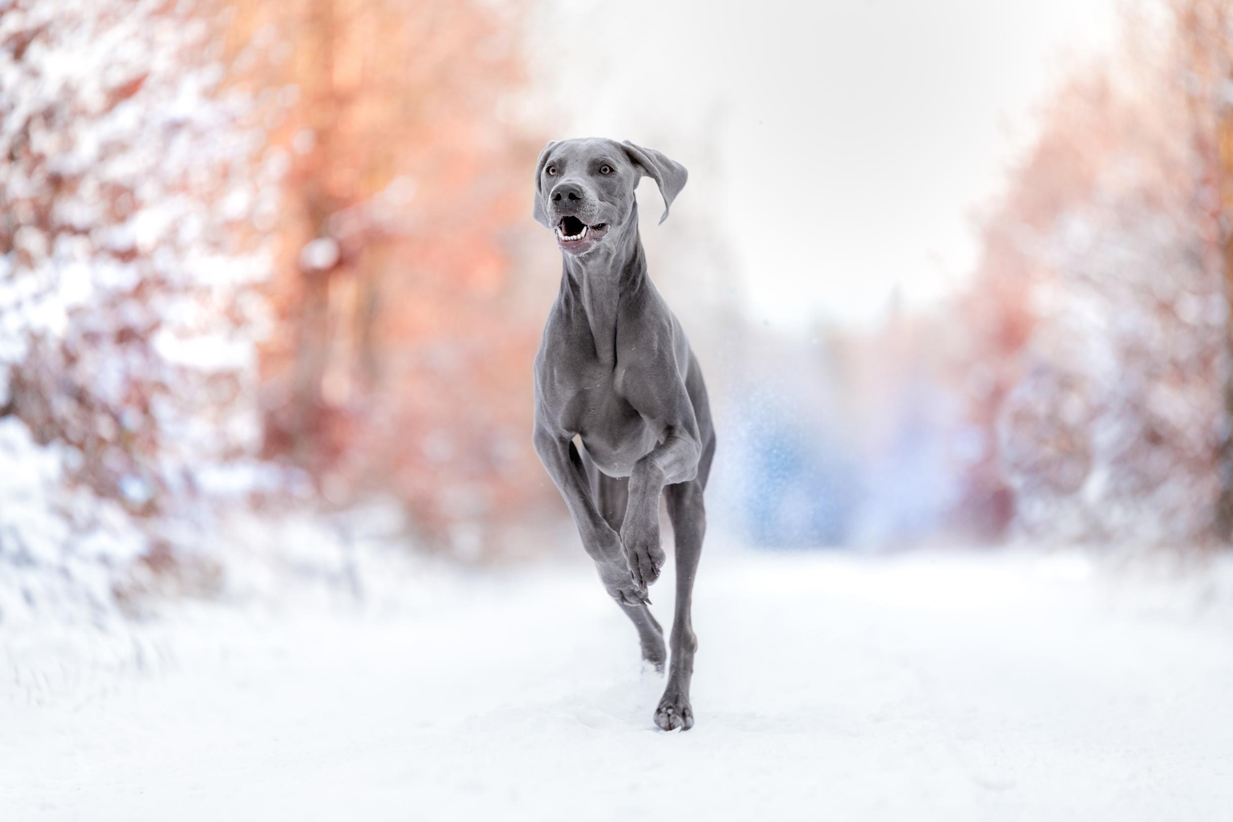 Hundefotografie Schweiz: Weimaraner rennt durch den Schnee