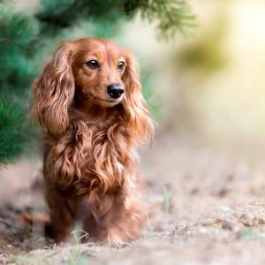 Hundefotografie in der Schweiz: Dackel Lilly unter Tannen