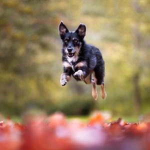 Tierfotografie Schweiz: rennender Hund im roten Herbstlaub