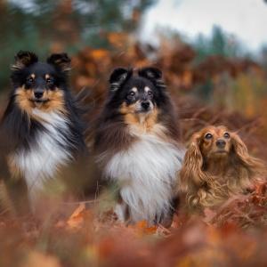 Hundefotografie rund um Basel: Zwei Shelties und ein Dackel sitzen im bunten Herbstlaub