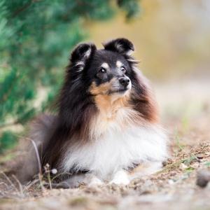 Hundefotografie Schweiz: Sheltie Trixi liegend im Tannenwald