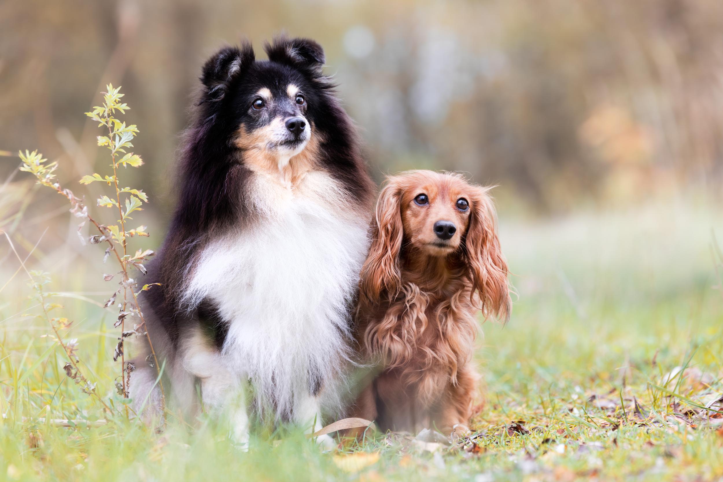 Sheltie Trixi und Dackel Lilly