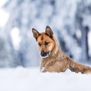 Hundefotografie: Mischling Isi liegt im tiefen Schnee im Schwarzwald
