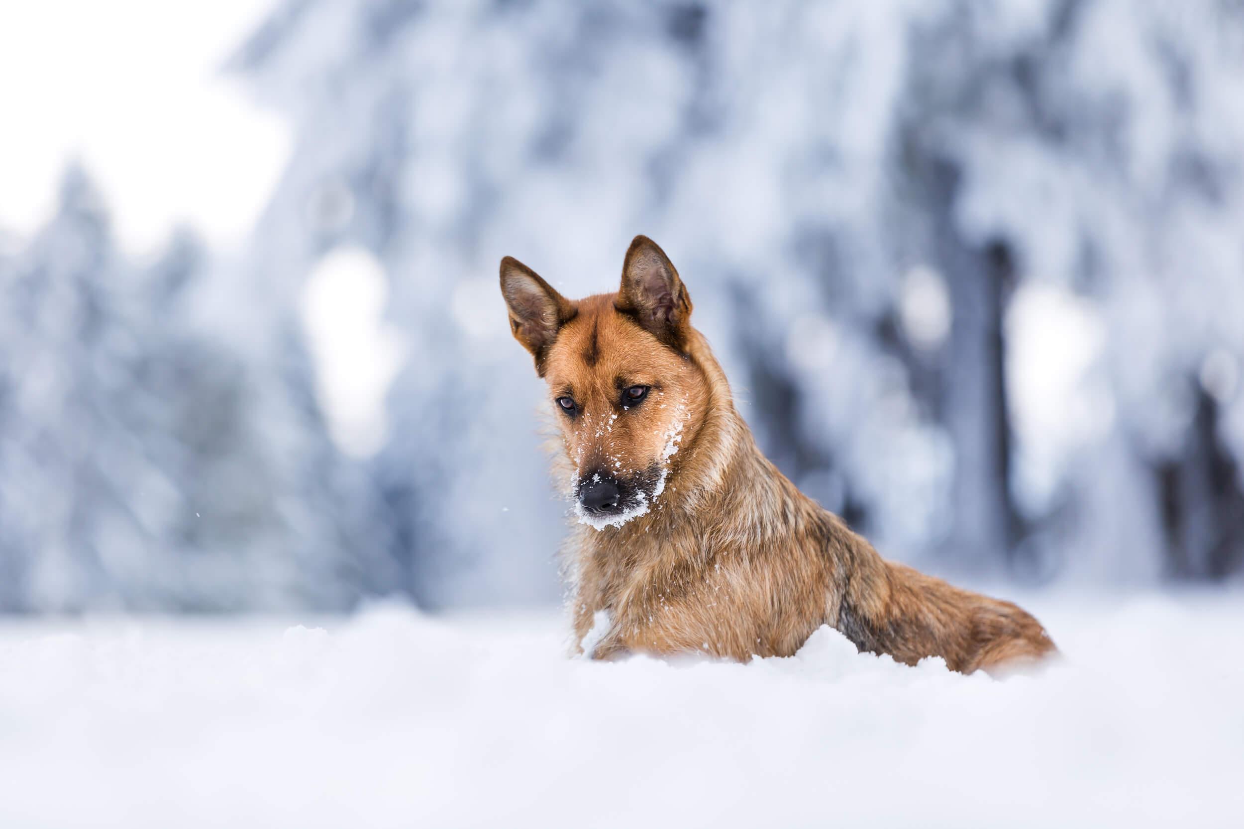 Mischlingshund liegt im tiefen Schnee im Schwarzwald