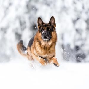 Deutscher Schäferhund Osco rennt durch den Schnee im Schwarzwald