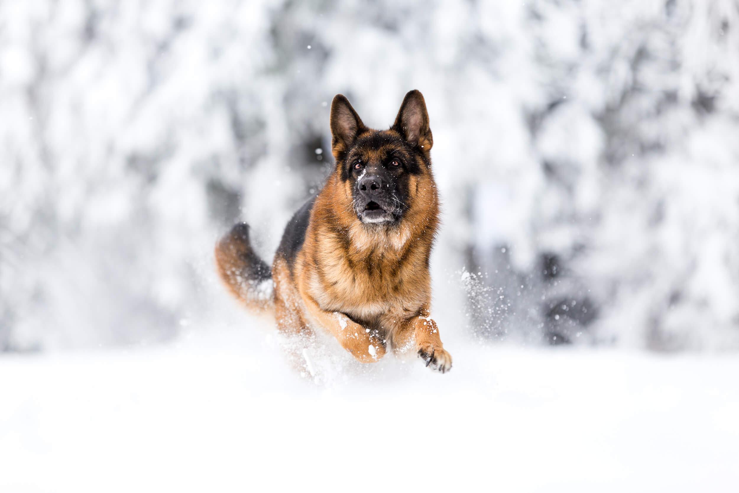 Deutscher Schäferhund rennt durch den Schnee im Schwarzwald