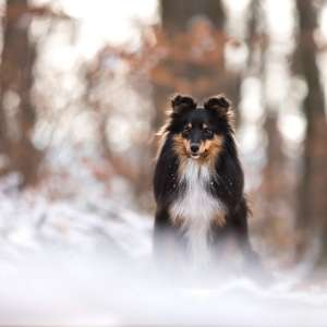 Tierfotografie in der Schweiz: Sheltie Sunny im Schnee