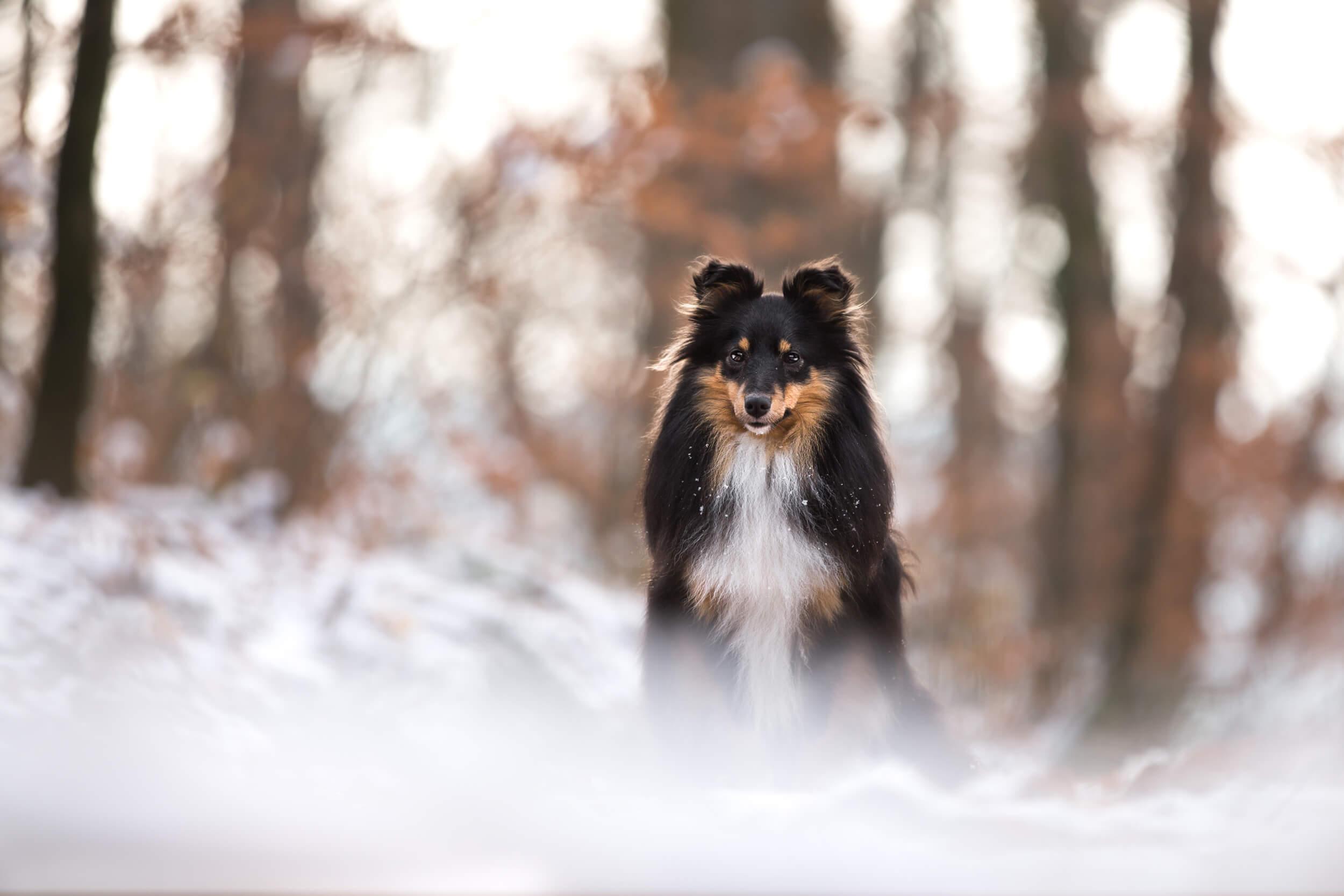 Sheltie sitzt im Schnee