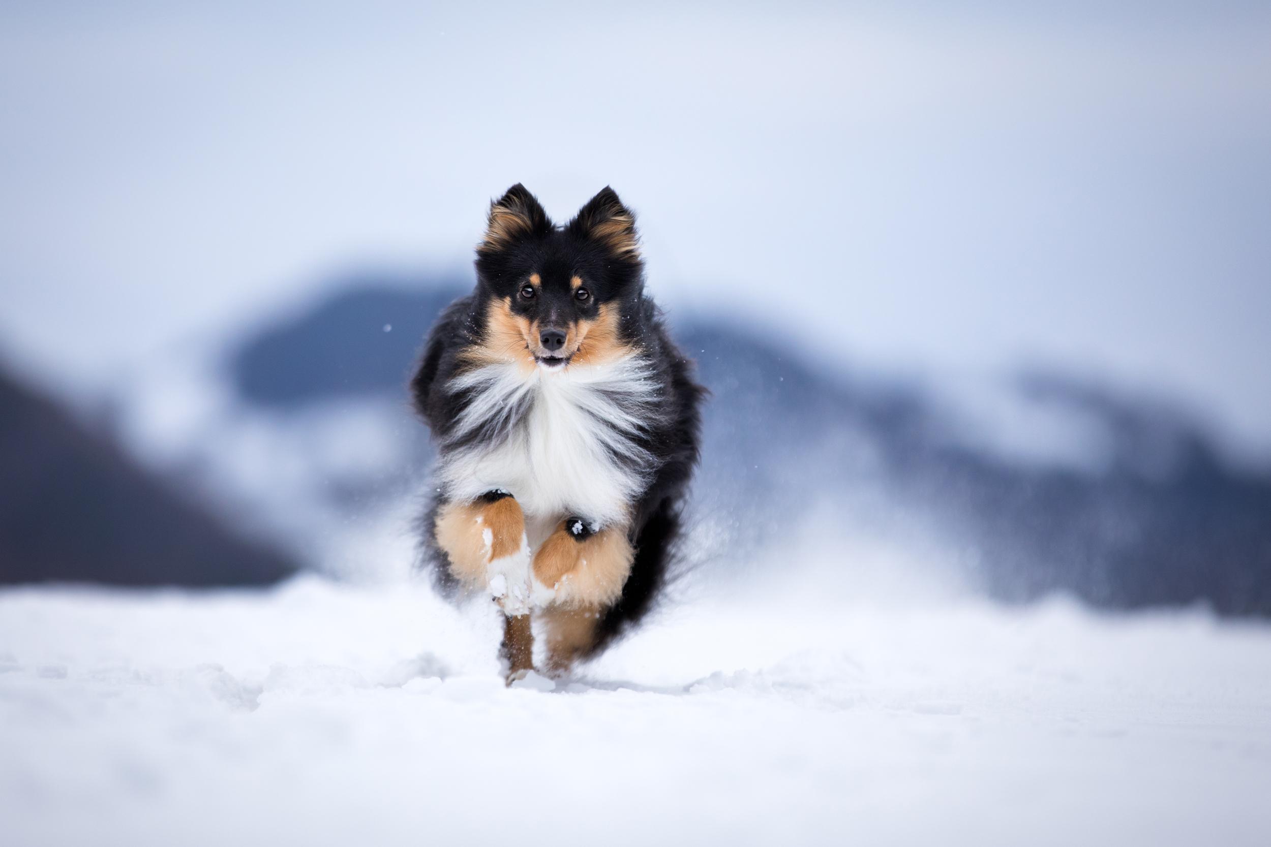 Sheltie Sunny tobt durch den Schnee in der Schweiz