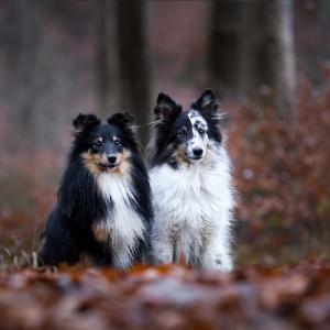 Zwei Shelties sitzen nebeneinander im roten Herbstlaub
