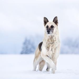 Tierfotografie rund um Basel: Weisser Schäferhundmix steht im Schnee