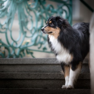 Hundefotografie rund um Basel: Australian Shepherd Charly auf einer edlen Treppe