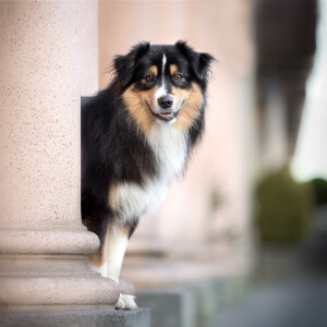 Portrait eines Australian Shepherds frontal