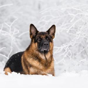 Tierfotografie Schweiz: Deutscher Schäferhund im Schnee