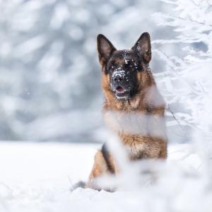 Deutscher Schäferhund sitzt im Schnee