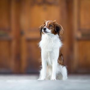Tierfotografie in der Schweiz: Kooiker Hündin Lucy auf dem Münsterplatz in Basel