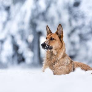 Malinoismischling liegt im tiefen Schnee im Schwarzwald