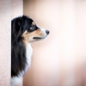 Seitliches Profil eines Australian Shepherds